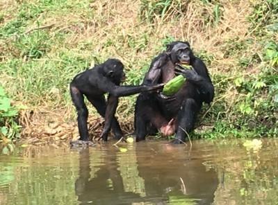 Bonobo_9564.jpg
