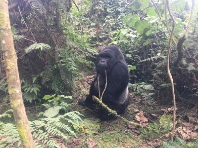 VNP_gorilla_10.jpg