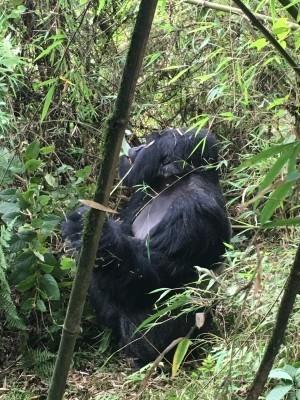 VNP_gorilla_14.jpg