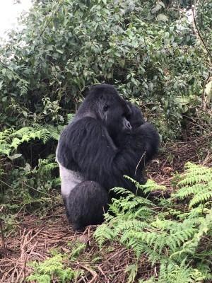 VNP_gorilla_28.jpg