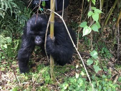 VNP_gorilla_36.jpg