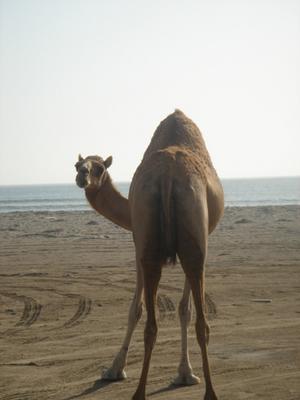 camel02_400.jpg