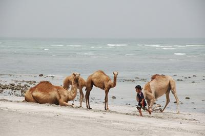 masirah_camel05.jpg